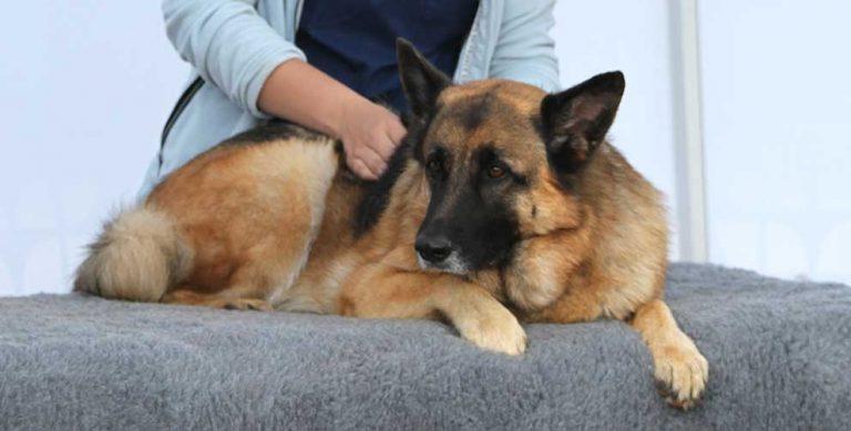 Visitation av hunden