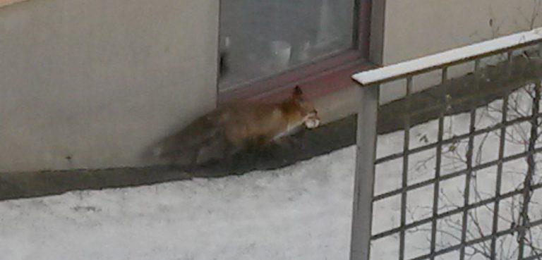 Räven besökte Furugården