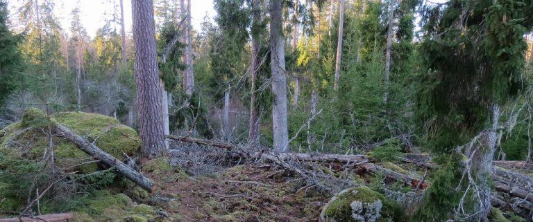 Urskogen mellan Boglösasjön och Bohultasjön, del 1