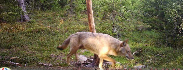 Jakten på varg återupptas