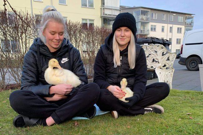 Spännande gymnasiearbete om ankors utveckling i ägget